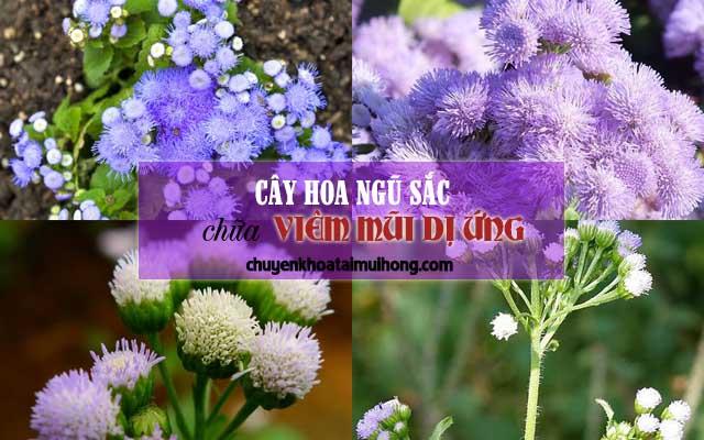 Cây hoa ngũ sắc chữa viêm mũi dị ứng