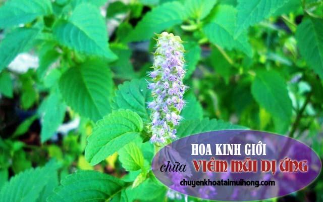 Dùng hoa kinh giới chữa viêm mũi dị ứng