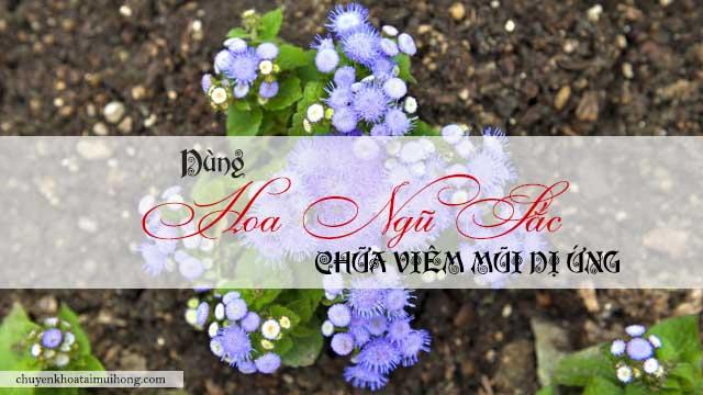 Dùng hoa ngũ sắc chữa viêm mũi dị ứng