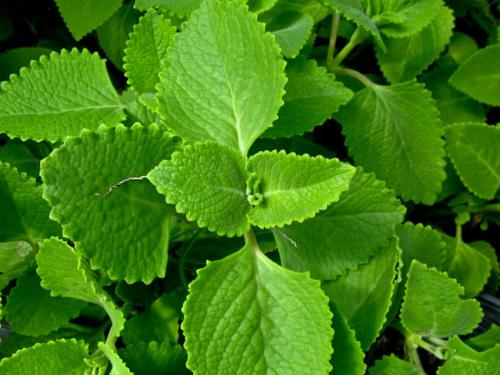 Các loại thảo dược chữa viêm amidan