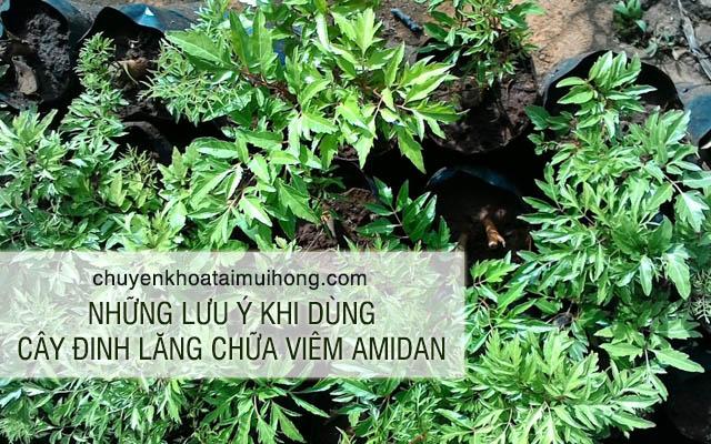 Lưu ý khi dùng cây đinh lăng chữa viêm amidan