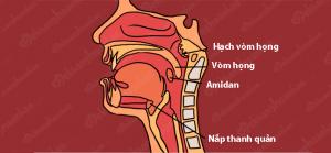 Chức năng của viêm nắp thanh quản -1