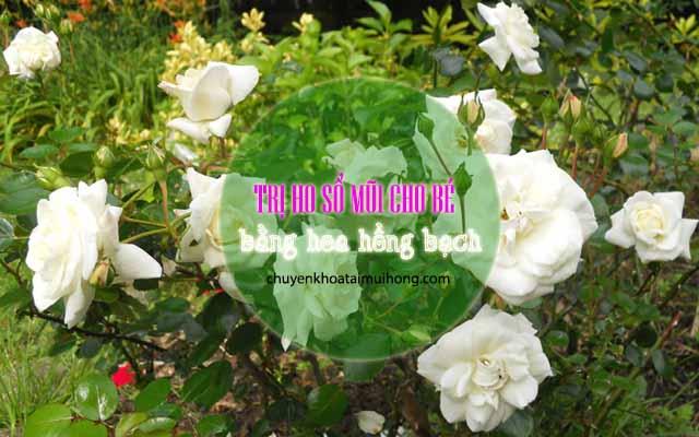 Sử dụng hoa hồng bạch điều trị ho, sổ mũi cho trẻ