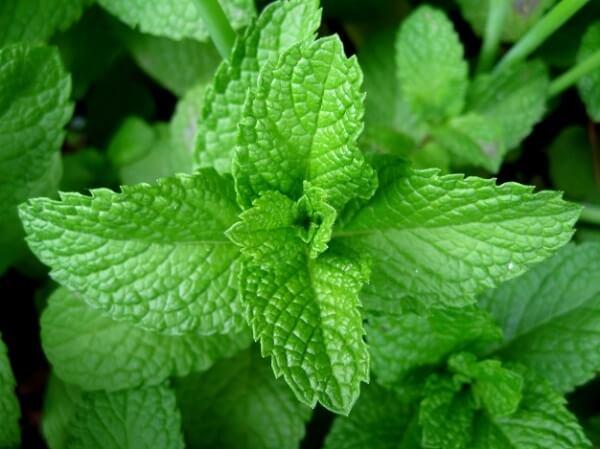 Sử dụng lá bạc hà trị viêm xoang mũi có mùi hôi