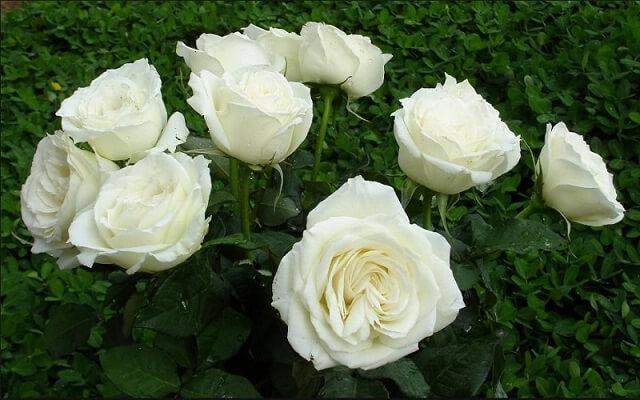 Chữa ho có đờm bằng hoa hồng bạch