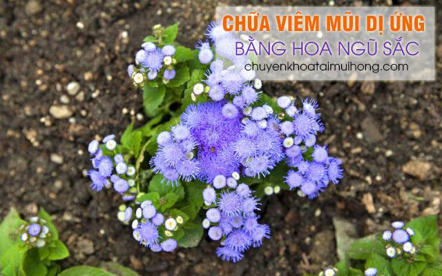 Dùng hoa ngũ sắc chữa bệnh viêm mũi dị ứng