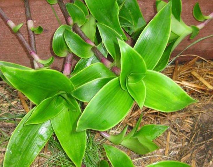 Chữa viêm xoang bằng cây lược vàng có độ an toàn cao và ít tác dụng phụ